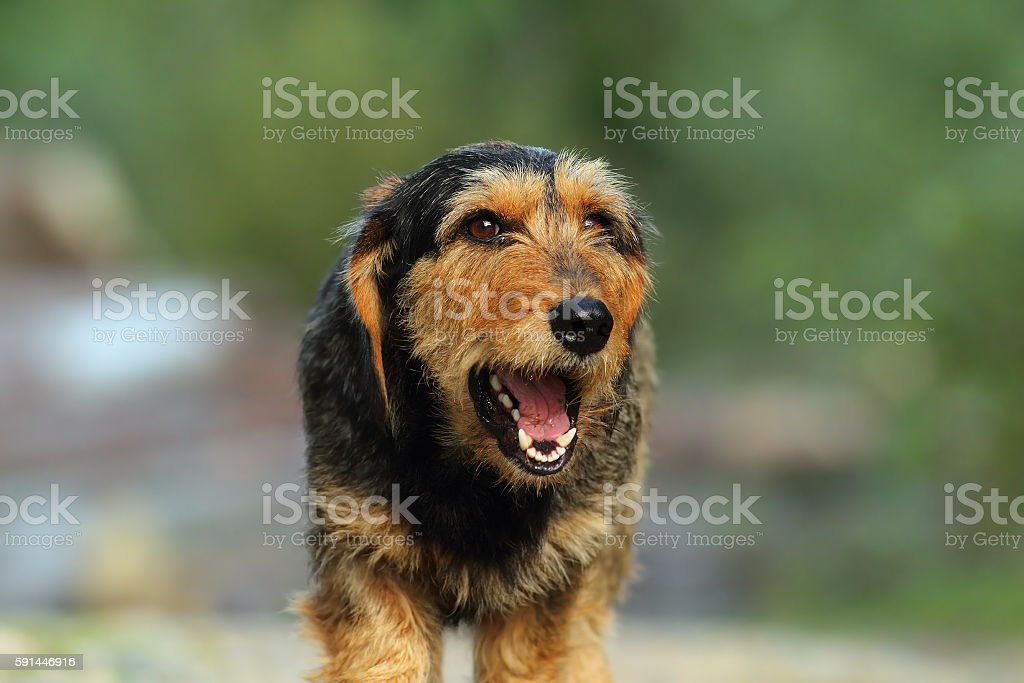 teckel dog portrait stock photo