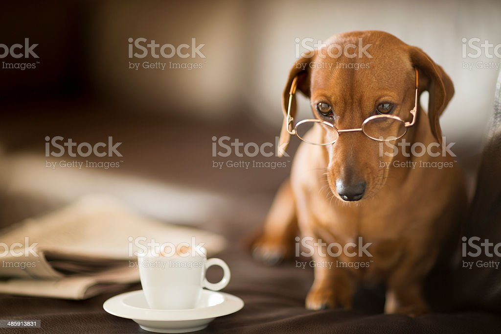 Dachshund dog wearing spectacles next to newspaper and coffee cup stock photo