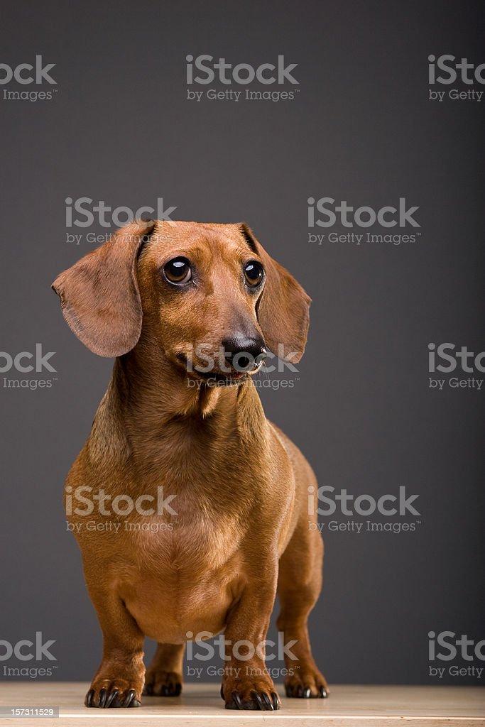 Dachshund Dog with Copy royalty-free stock photo