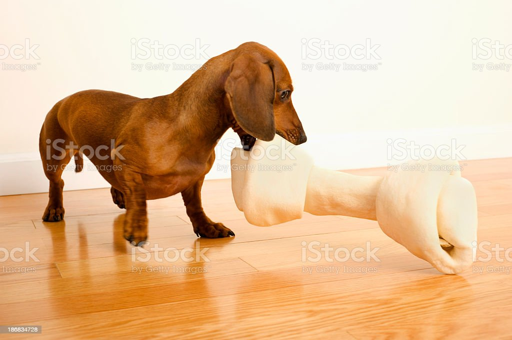 Dachshund dog with Rawhide Bone stock photo