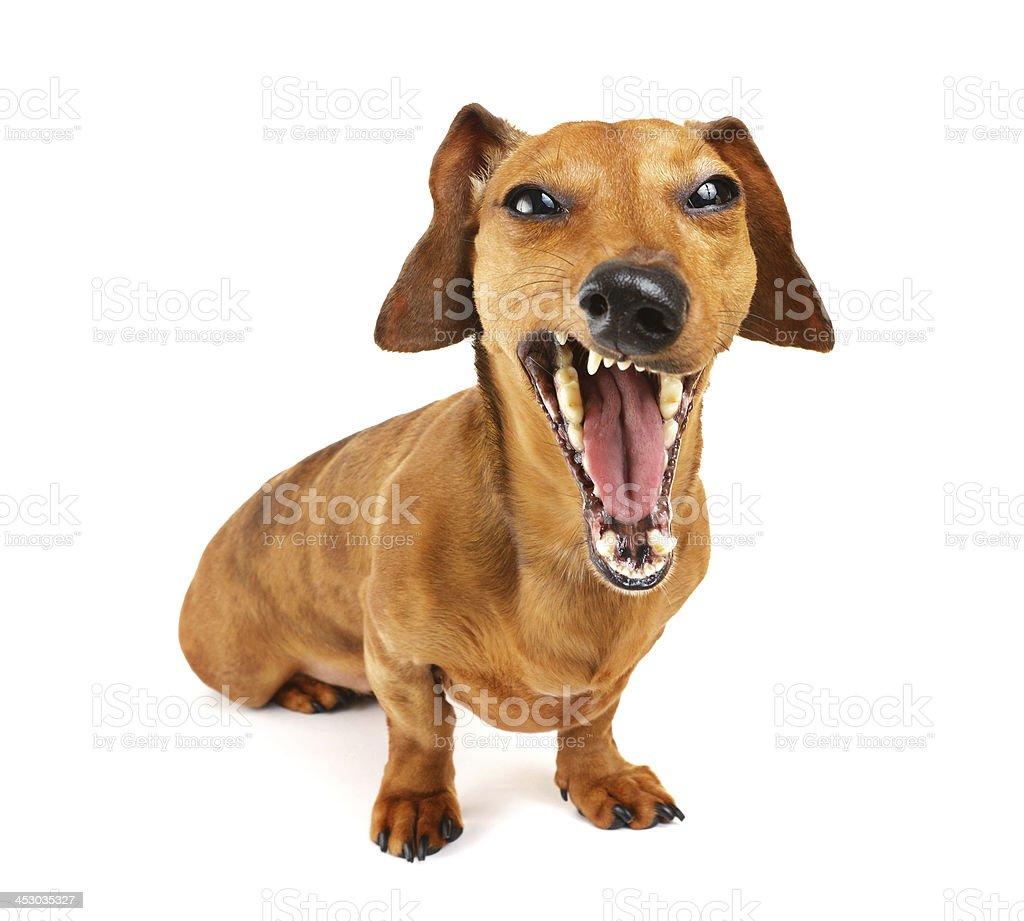 Dachshund dog yelling stock photo