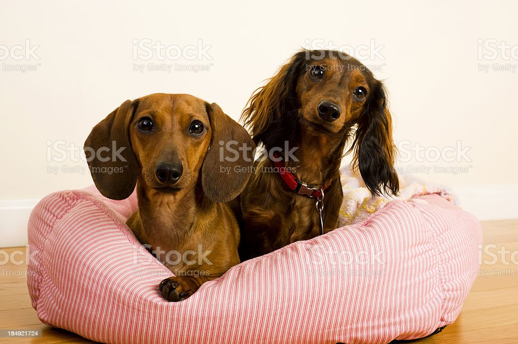 Dachshund dogs royalty-free stock photo