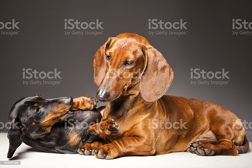 Dachshund Dogs playing on gray royalty-free stock photo