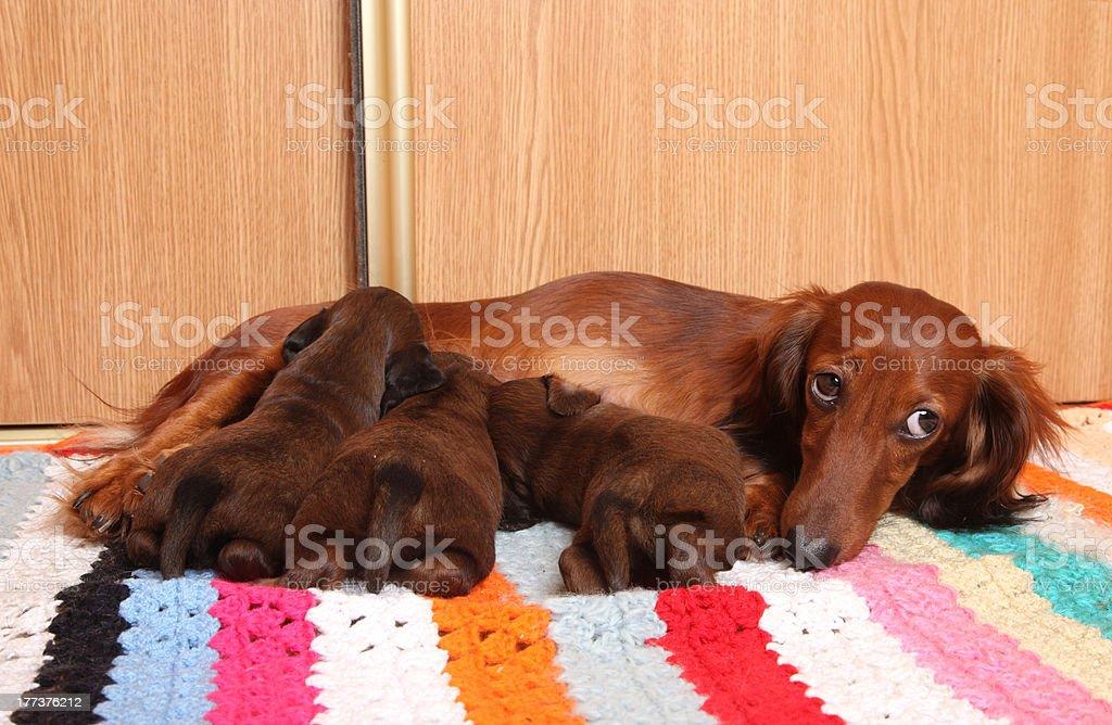 Dachshund feeding puppies stock photo