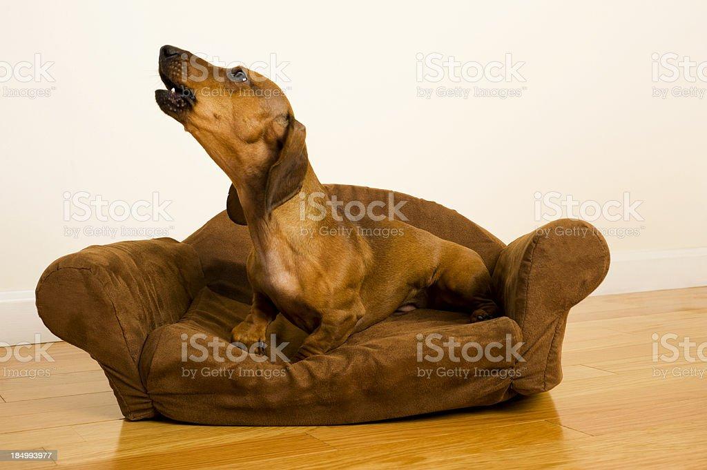 Dachshund - Guard dog royalty-free stock photo