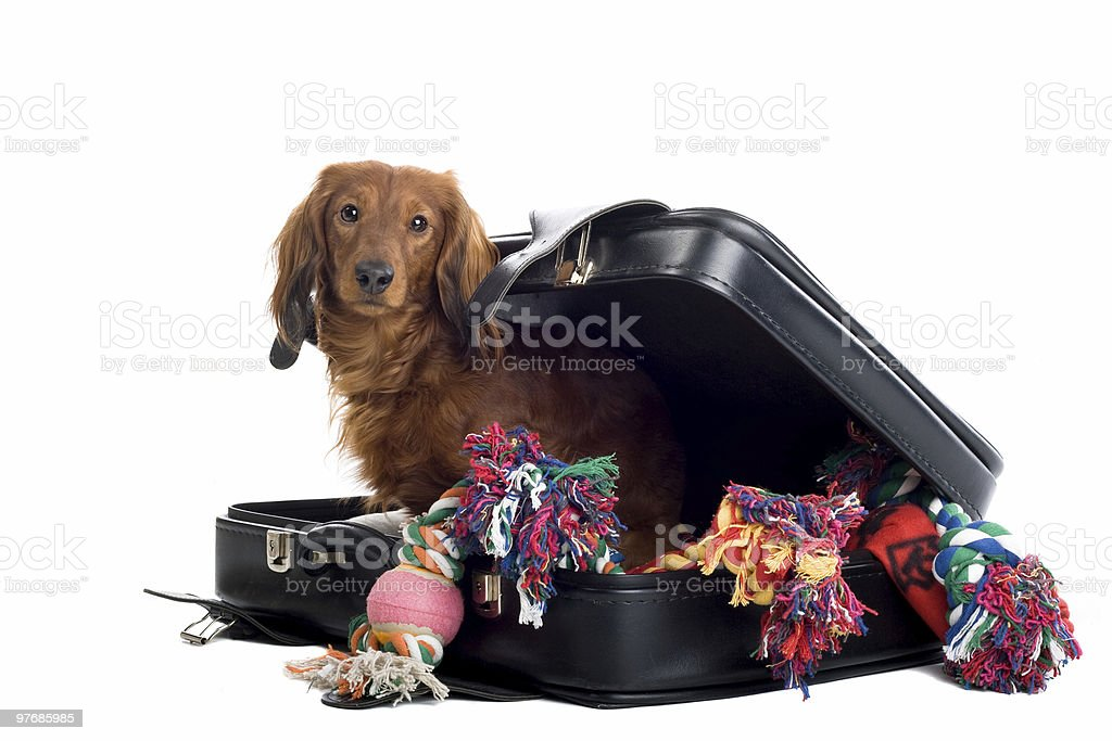 Dachshund in a suitcase filled with dog toys royalty-free stock photo