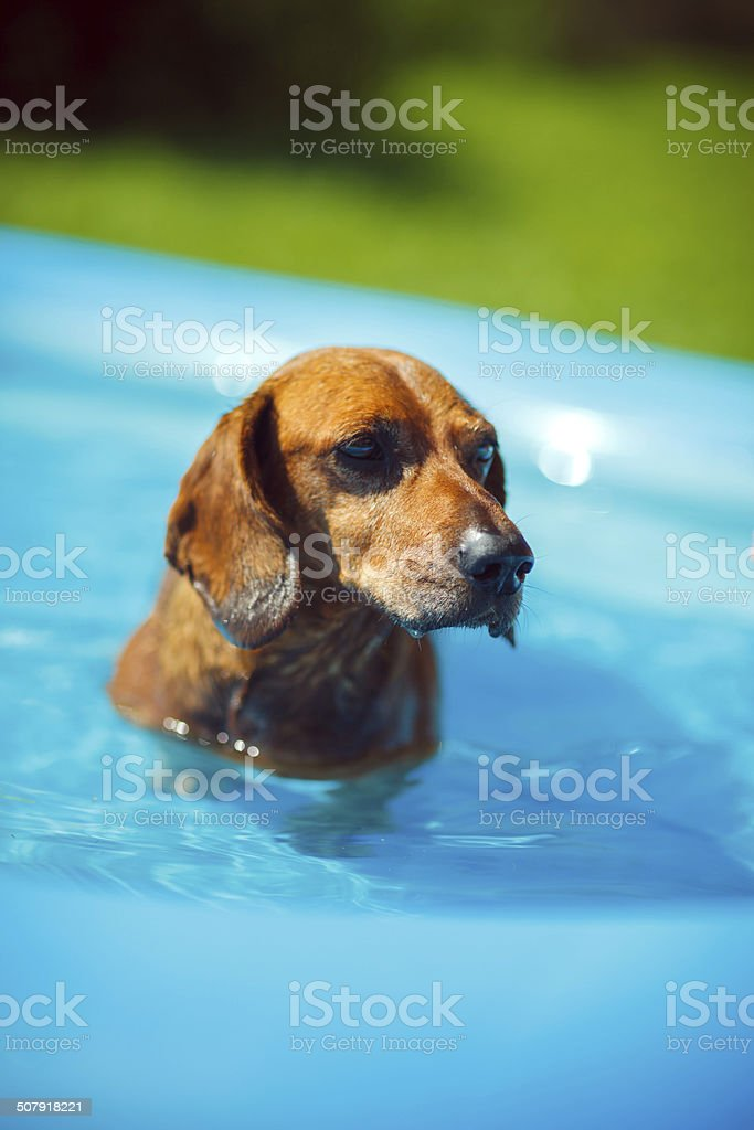 Dachshund in a swimming pool royalty-free stock photo