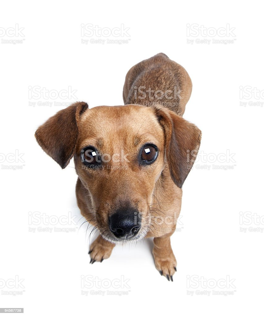 Dachshund in front of a white background, studio shot stock photo