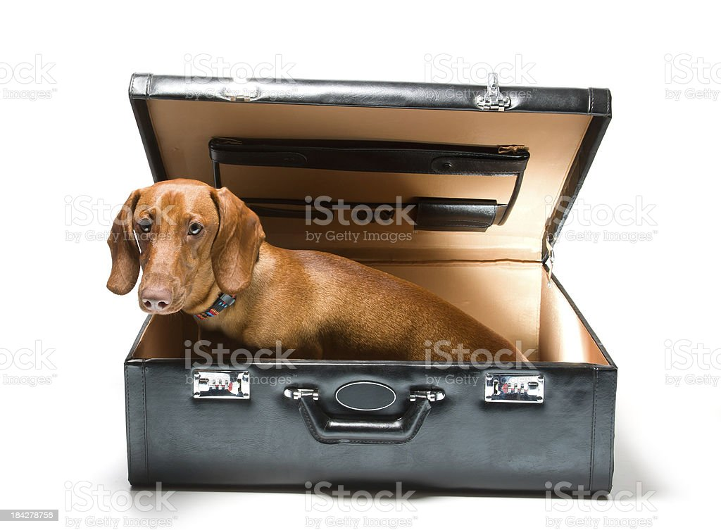 Dachshund in suitcase royalty-free stock photo