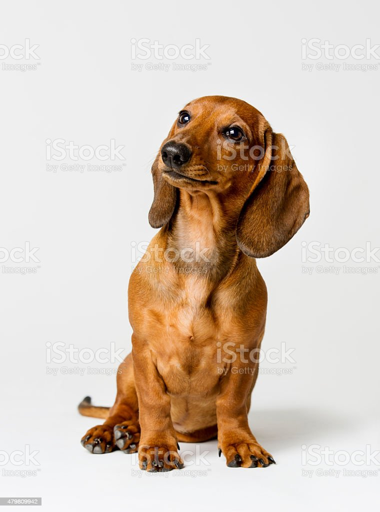 Dachshund Isolated on White Background, Brown Dog Looking Up stock photo