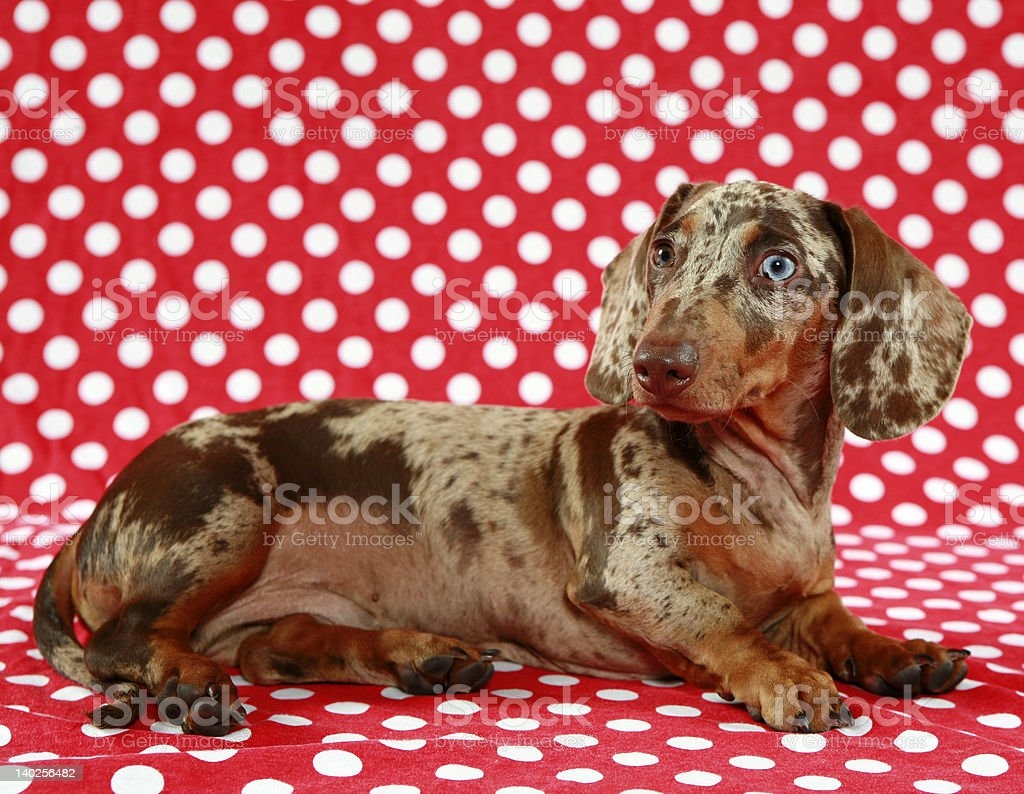 Dachshund laying on red and white polka dot backdrop royalty-free stock photo