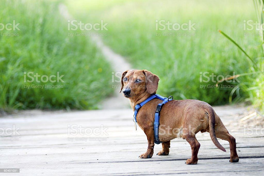 Dachshund looking back at camera stock photo