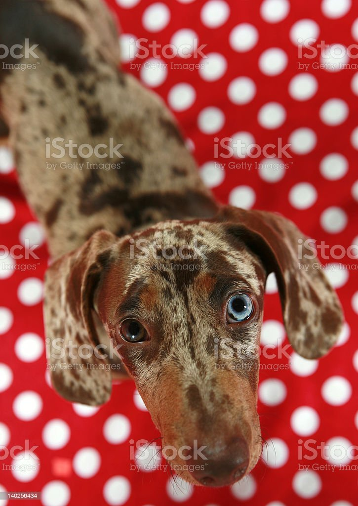 Dachshund looking up royalty-free stock photo