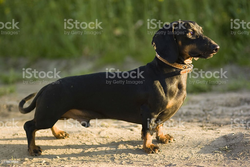 dachshund male dog stock photo