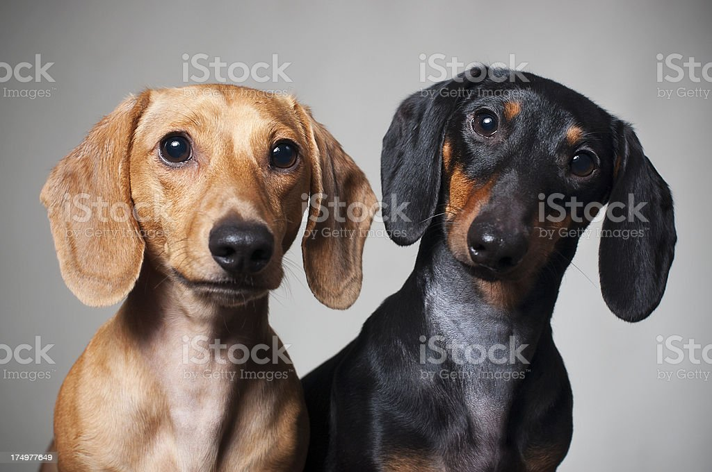 Dachshund Miniature Purebred stock photo