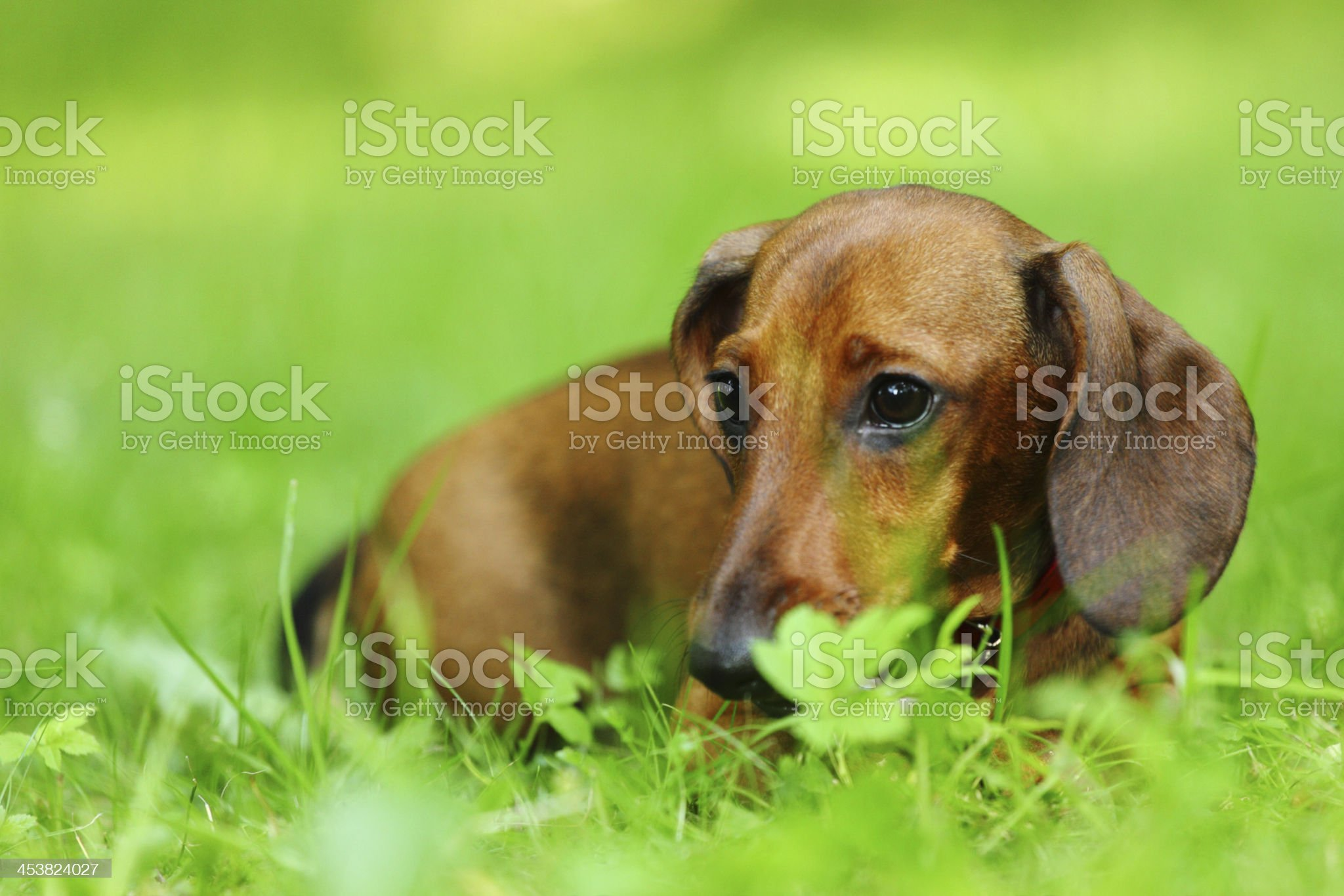 dachshund on grass royalty-free stock photo