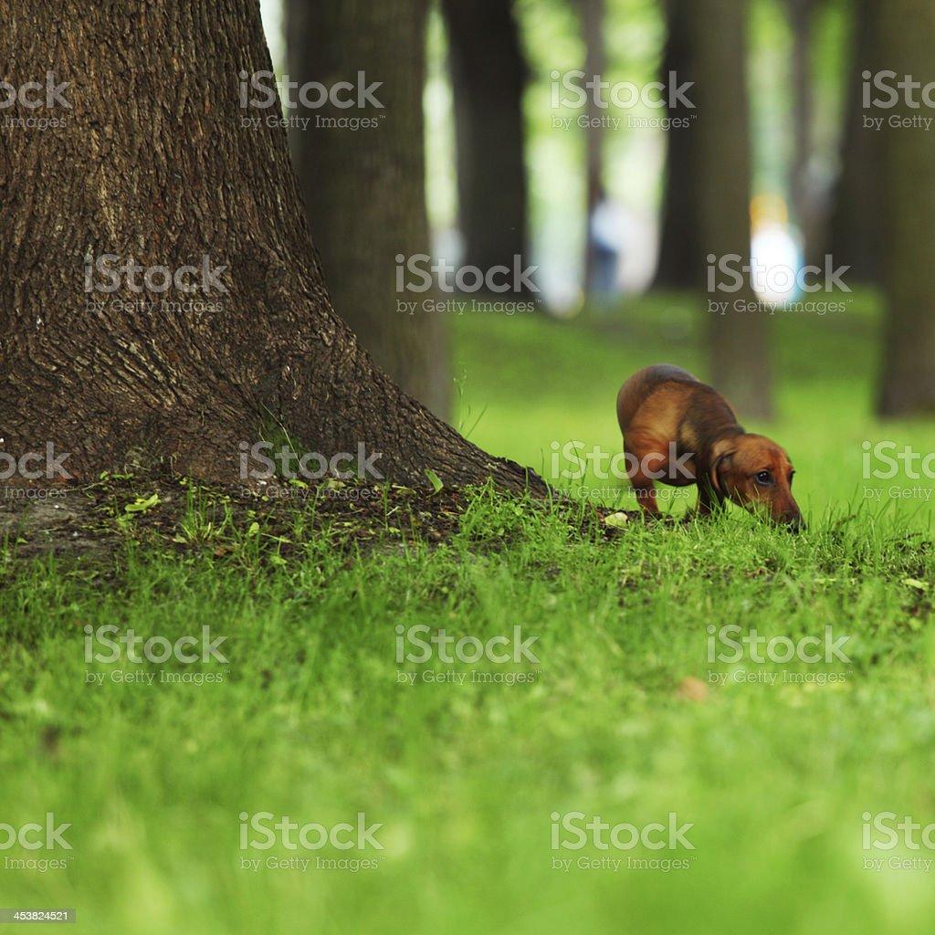dachshund on grass royalty-free stock photo