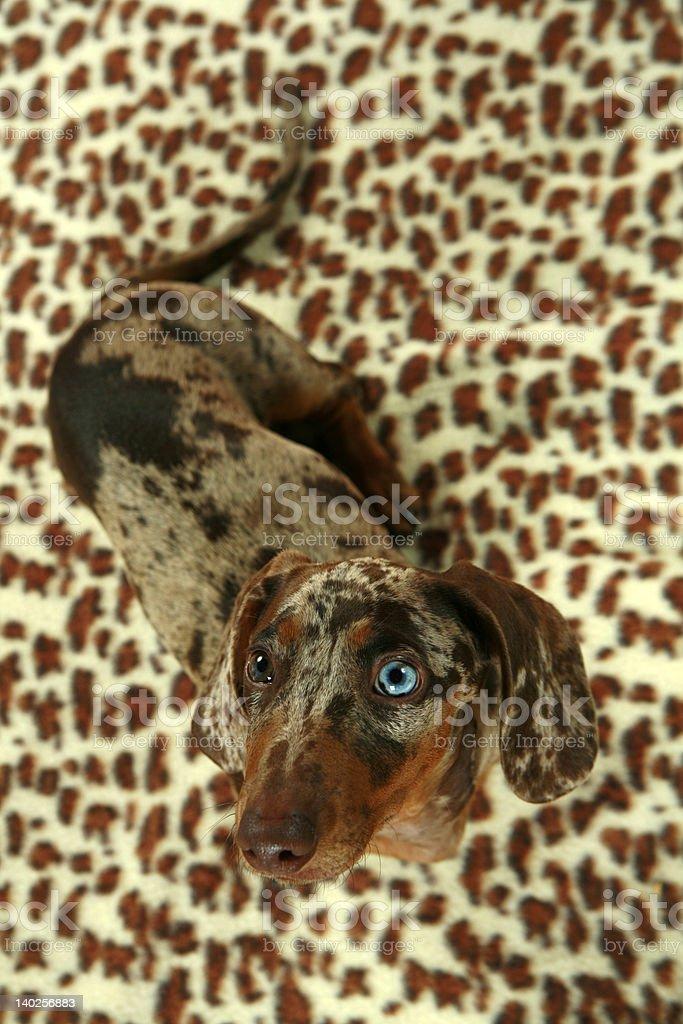 Dachshund on leopard blanket royalty-free stock photo