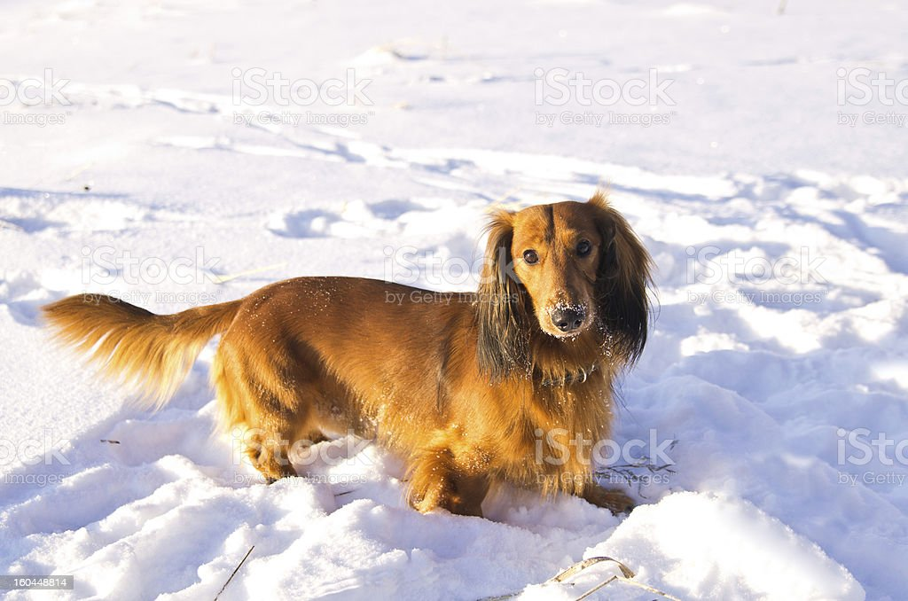 Dachshund on snowy meadow royalty-free stock photo