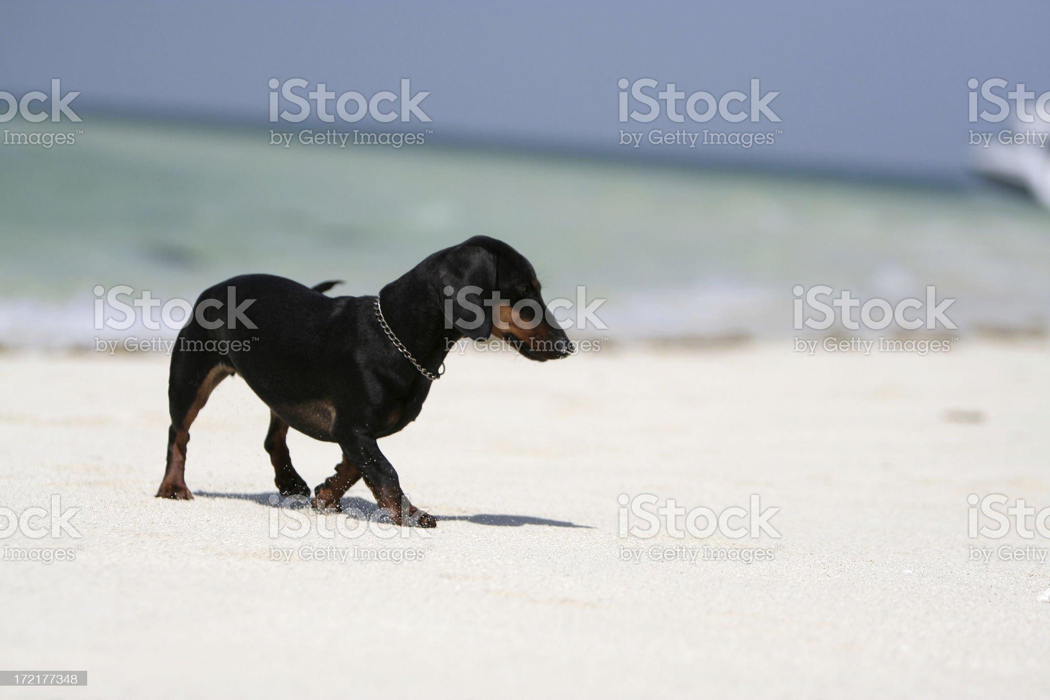 Dachshund on the Beach royalty-free stock photo