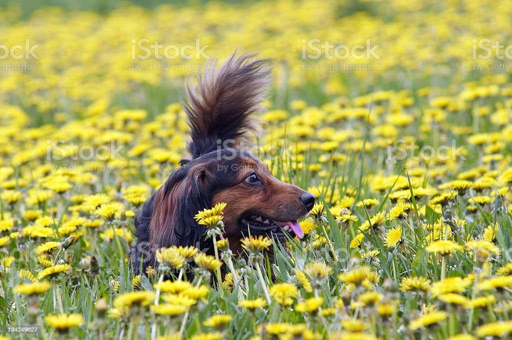 Dachshund on the dandelions meadow royalty-free stock photo