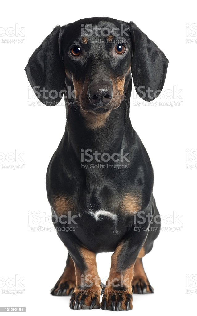 Dachshund, one year old, standing, white background. stock photo