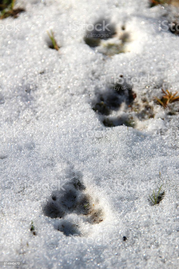 Dachshund paw prints in snow stock photo