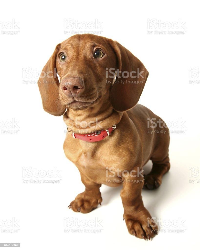 dachshund royalty-free stock photo