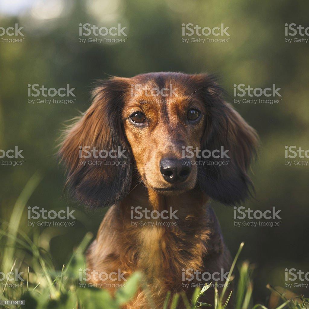 Dachshund Portrait stock photo