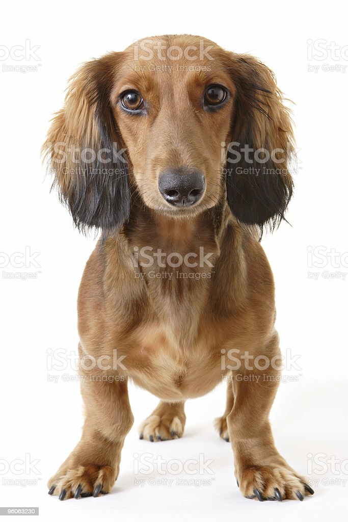 Dachshund Portrait stock photo