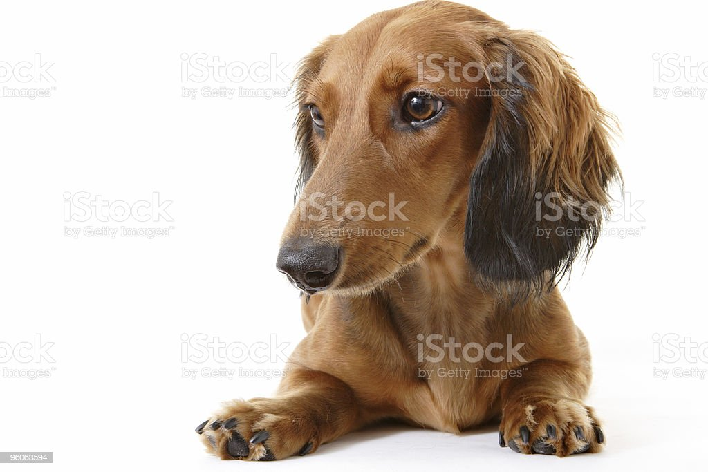 Dachshund Portrait royalty-free stock photo