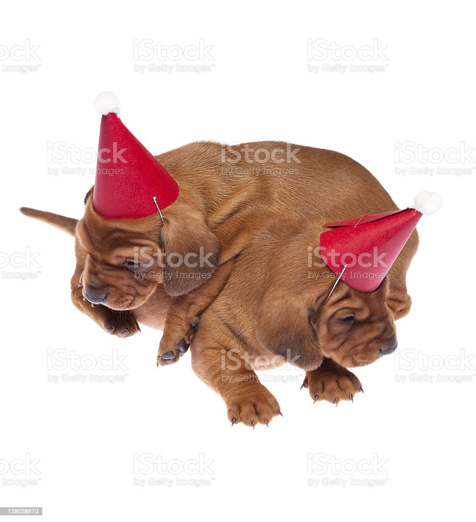 Dachshund puppies royalty-free stock photo