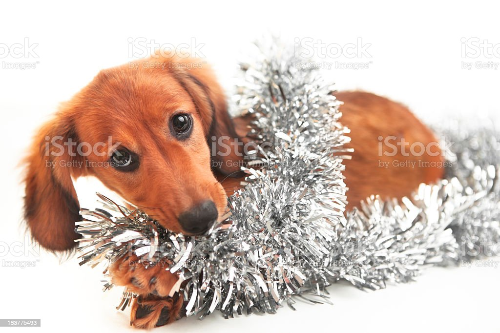 Dachshund Puppy and Silver Tinsel royalty-free stock photo