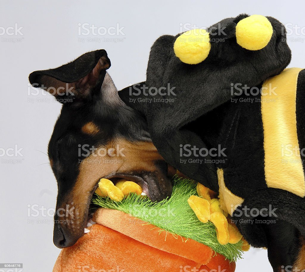 Dachshund puppy attacking a flower pot royalty-free stock photo