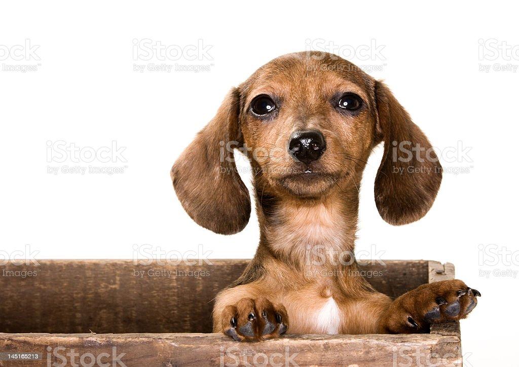 Dachshund Puppy dog royalty-free stock photo