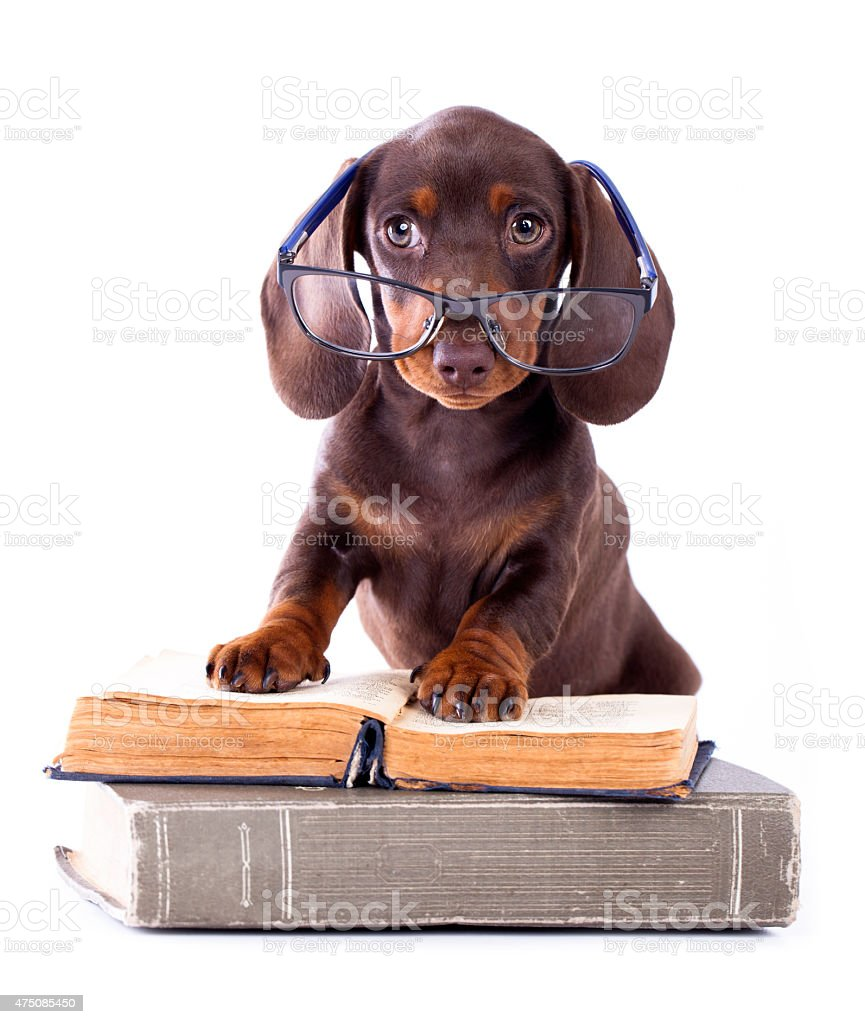 dachshund puppy in glasses stock photo