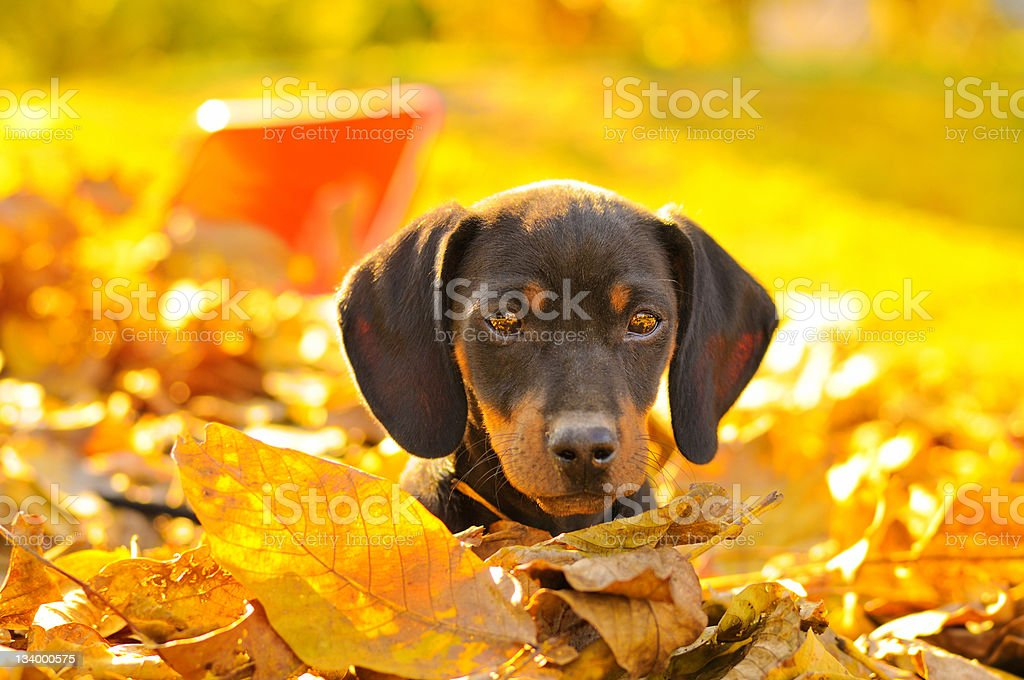Dachshund puppy in leafs royalty-free stock photo