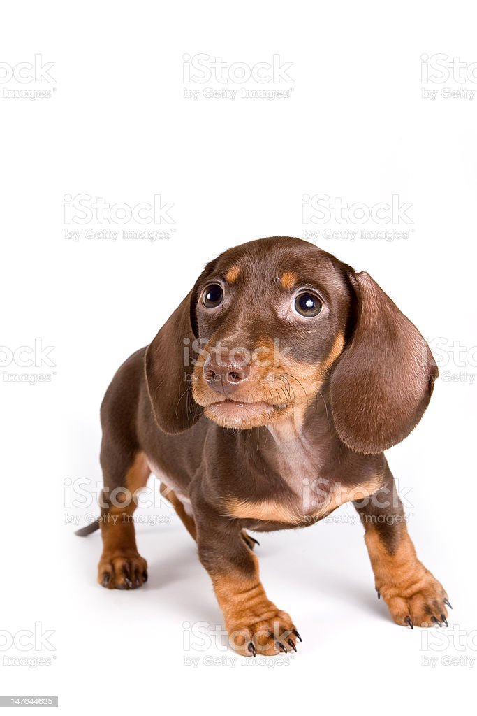 Dachshund puppy isolated on white royalty-free stock photo