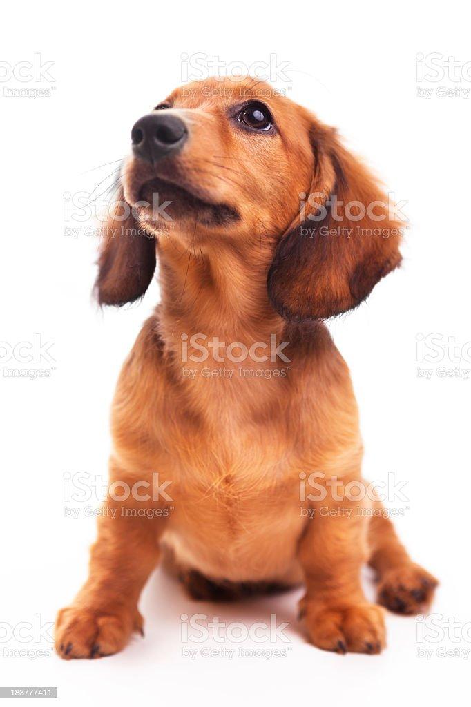 Dachshund Puppy on white royalty-free stock photo