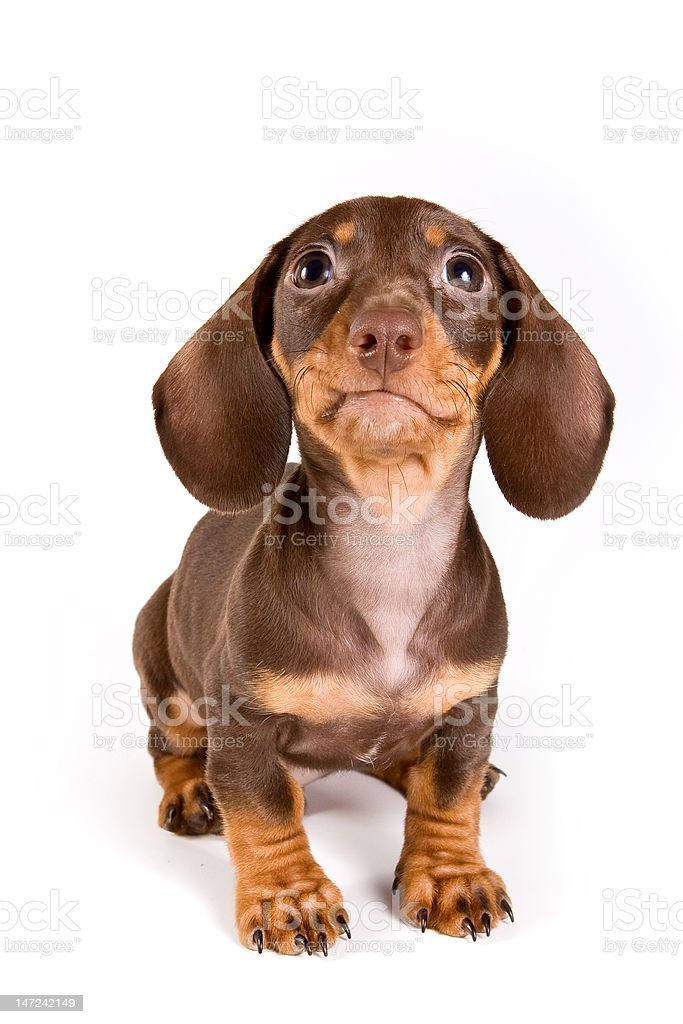 Dachshund puppy royalty-free stock photo