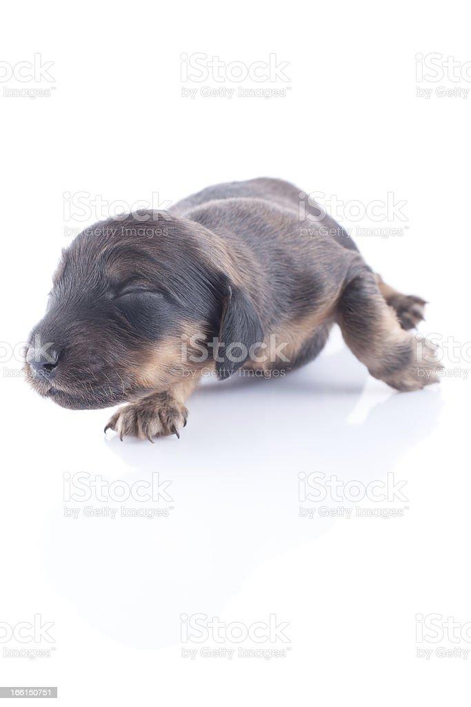 dachshund puppy royalty-free stock photo