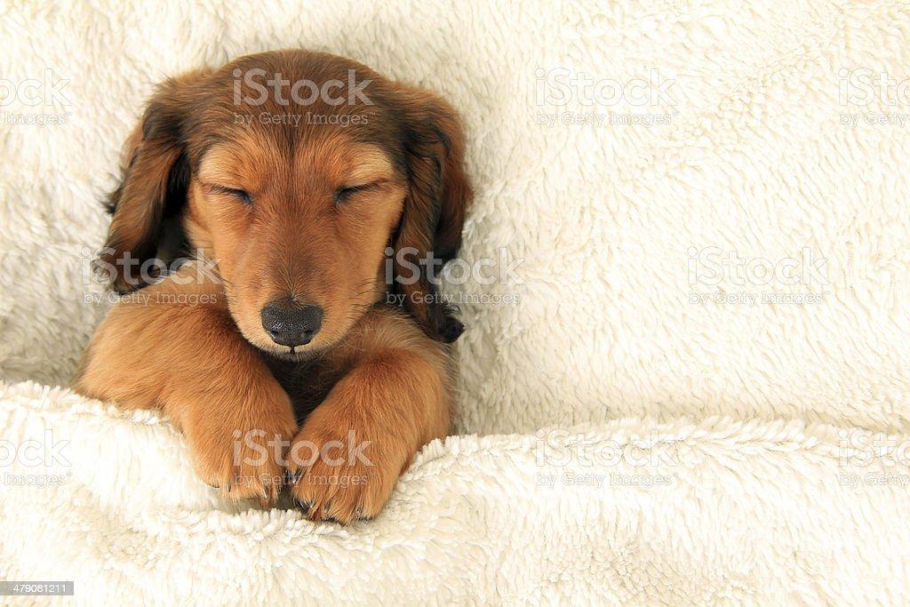 Dachshund puppy stock photo
