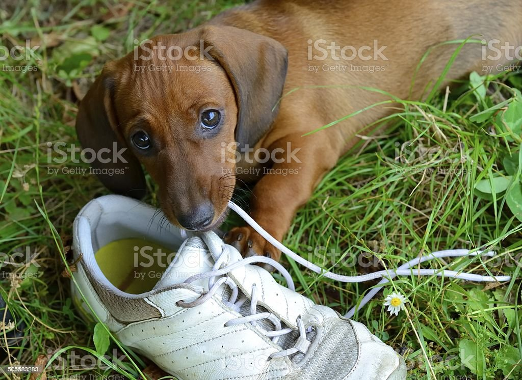 Dachshund puppy plays with shoe outside in grass stock photo
