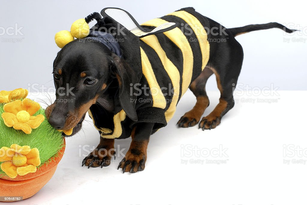 Dachshund puppy pulling flower pot top view royalty-free stock photo