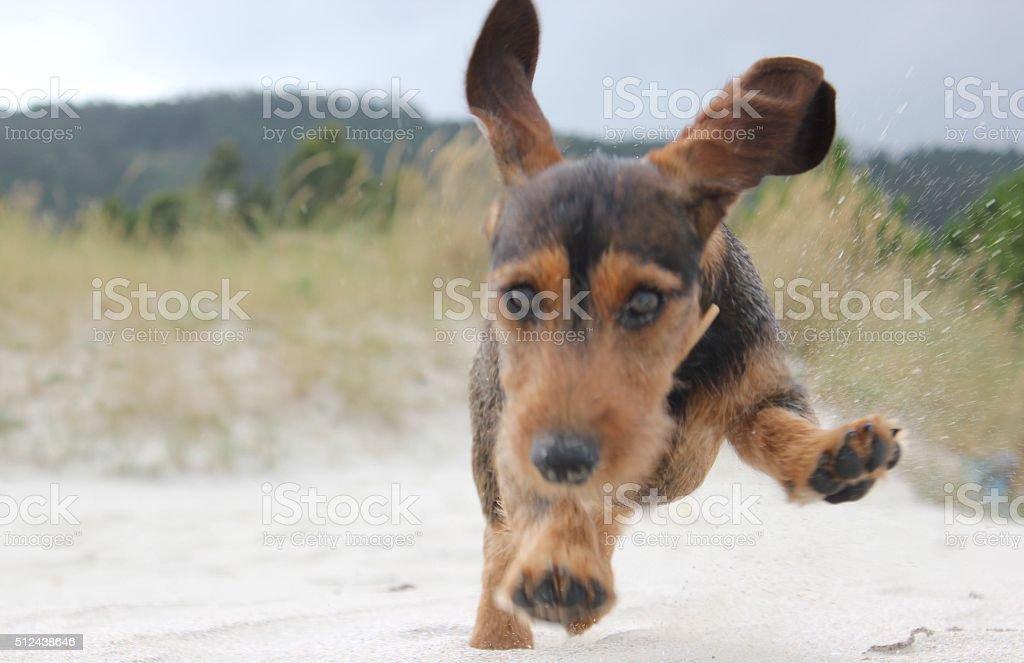 Dachshund Puppy running on the beach stock photo