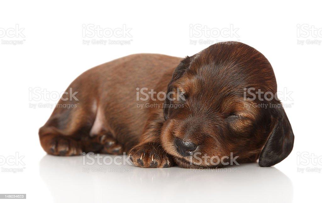 Dachshund puppy sleep on white background stock photo