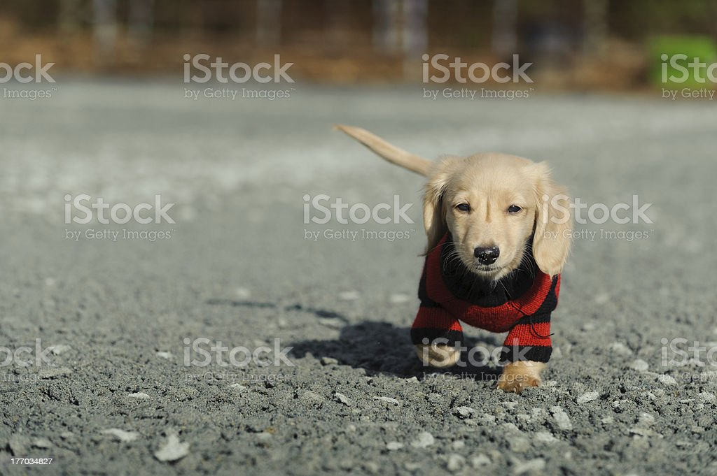 Dachshund puppy walks towards the camera royalty-free stock photo