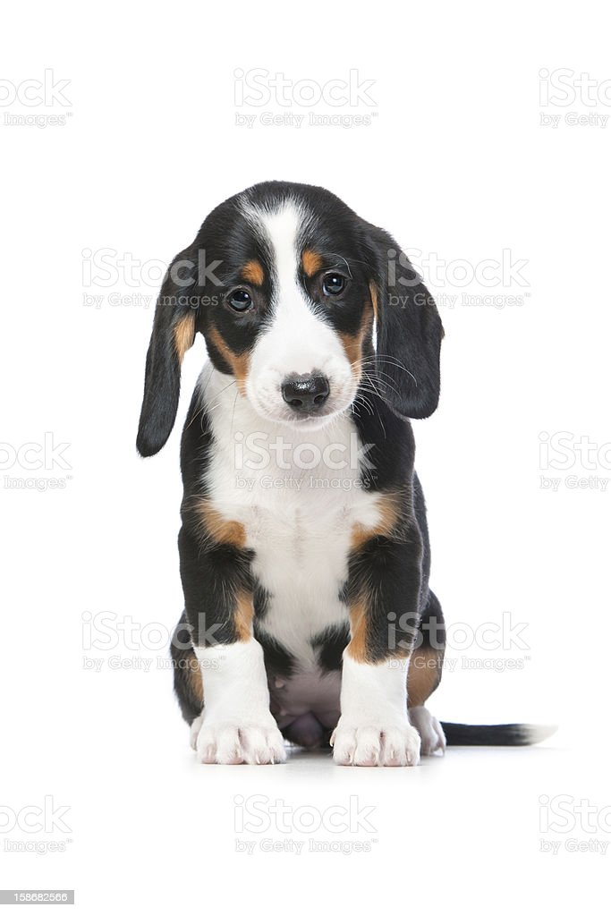 Dachshund puppy, Westphalian Dachsbracke stock photo