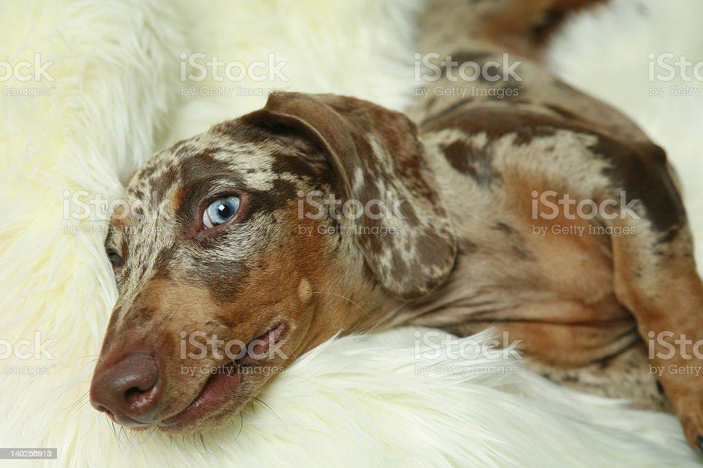 Dachshund resting royalty-free stock photo