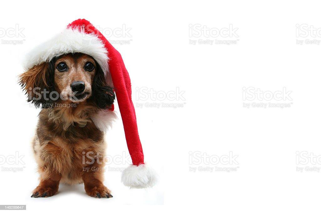 Dachshund Santa royalty-free stock photo